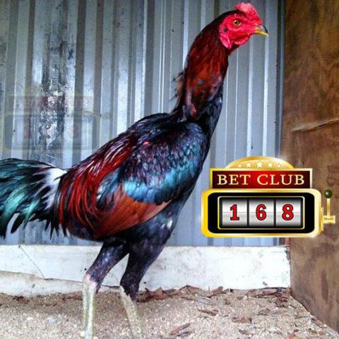 Mengenal Kualitas Ayam Aduan Jenis Pama
