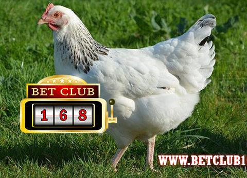 Bermain Rooster Battle Online Sumber Penghasilan – Sabung Ayam