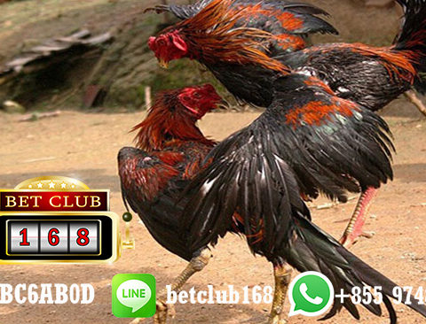 Sabung Ayam Live Online Android Bonus Cashback