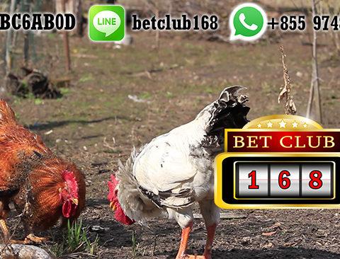 Situs Sabung Ayam Online Bonus New Member Terbesar