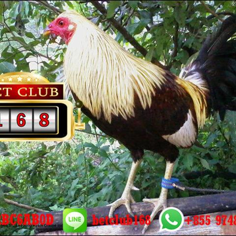 Raih Kemenangan Besar Uang Asli Sabung Ayam S128