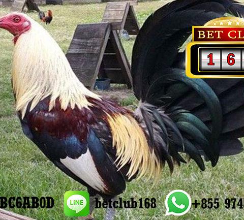 LiveChat Daftar Akun Sabung Ayam Gratis Online 24 Jam