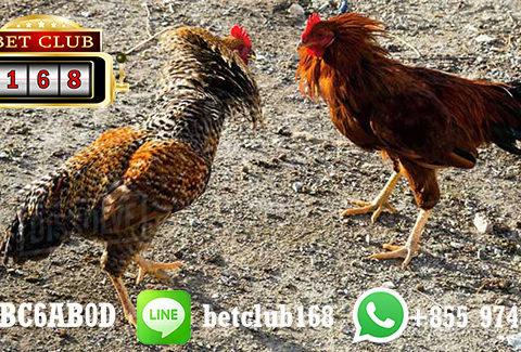 Situs Sabung Ayam Indonesia Proses Cepat
