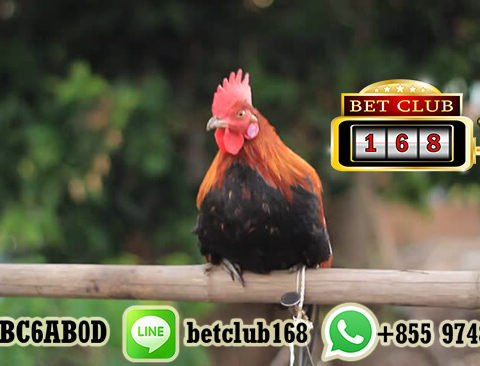 Withdraw Jutaan Rupiah Taruhan Sabung Ayam Online
