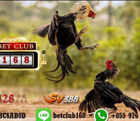 Bermain Mudah Sabung Ayam Online Versi Android