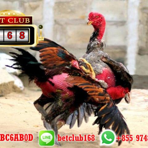 Cara Dapat Bonus Cashback Sabung Ayam BETCLUB168