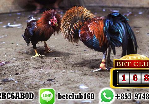 Cara Mendaftar Judi Sabung Ayam Online