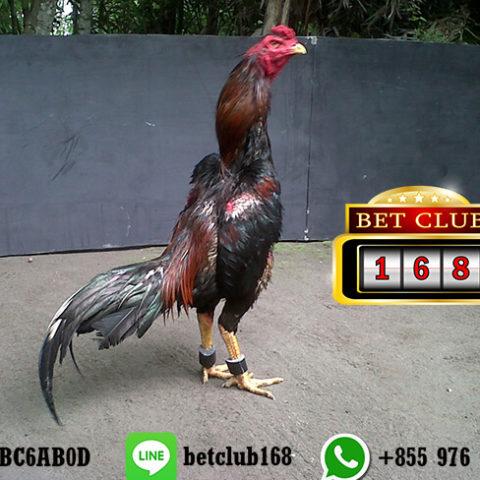 Situs Sabung Ayam Bangkok Live Online Android