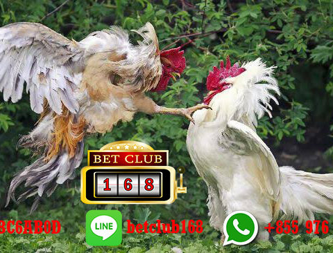 Website Taruhan Sabung Ayam Tanpa Download
