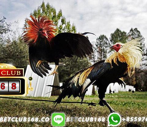 Bandar Adu Ayam Bonus Win 8x Lebaran 2019