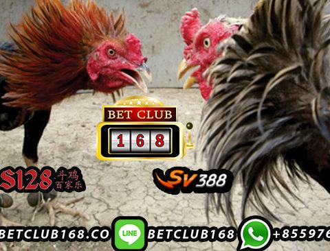 Kontak Bandar Ayam Online Uang Asli Terpercaya