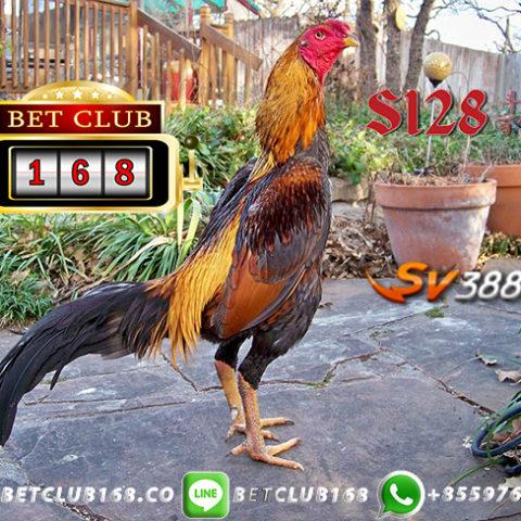 Link Alternatif Sabung Ayam Android APK