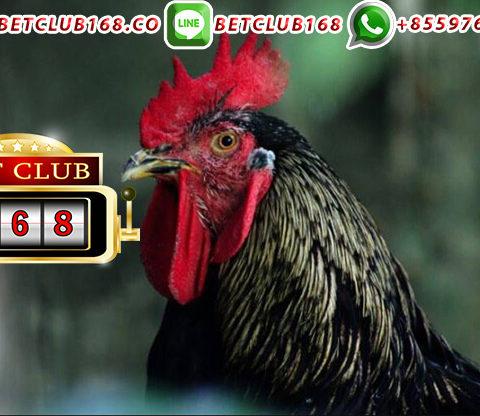 Situs Agen Judi Ayam Bangkok Resmi Teraman