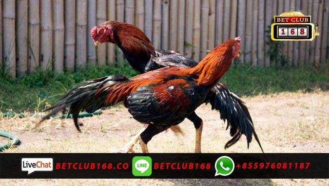 Agen Adu Ayam Online