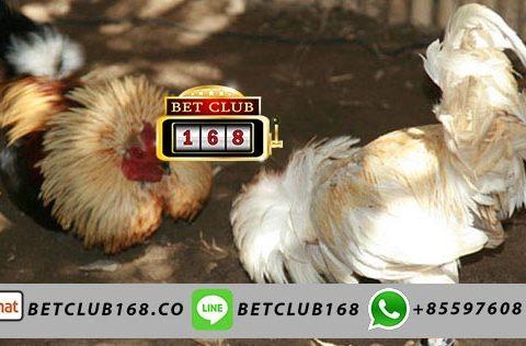 Agen Sabung Ayam Bangkok