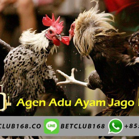 Adu Ayam Jago Bangkok