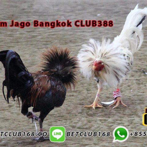 Judi Ayam Jago Bangkok CLUB388